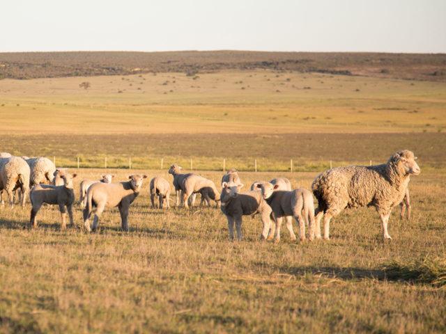 our-story-farm-sheep